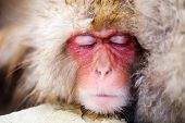 image of macaque  - Close up of a Snow Monkey Japanese Macaques - JPG