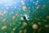picture of jellyfish  - Underwater photo of tourist woman snorkeling with endemic golden jellyfish in lake at Palau - JPG