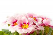 stock photo of primrose  - pink spring primroses on a white background - JPG