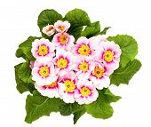 picture of primrose  - pink spring primroses on a white background - JPG