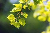 image of linden-tree  - new linden leaf in morning forest - JPG