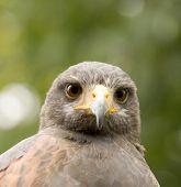 falcon kingsbury water park warwickshire midlands england poster