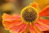 stock photo of black-eyed susans  - Macro image Black Eyed Susan Summer flower - JPG