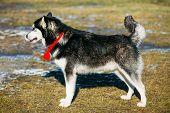 pic of malamute  - Beautiful Alaskan Malamute Dog Staying Outdoor In Spring - JPG