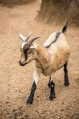 picture of billy goat  - A pygmy goat standing in a barren landscape - JPG