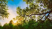 pic of crown  - Spring Sun Shining Through Canopy Of Tall Oak Trees - JPG