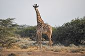 stock photo of mimicry  - Lone giraffe walking on the African savannah - JPG
