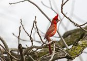 image of cardinal  - A male Northern Cardinal on full alert in a tree - JPG