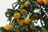 picture of tangerine-tree  - Tangerine on tree branch - JPG
