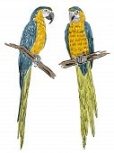 stock photo of parrots  - Vector sketch of a parrots - JPG