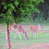 doe and fawn