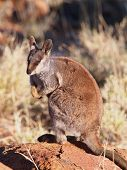 Постер, плакат: Rock Wallaby on rock