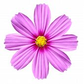 Single Pink Cosmea Rose. Beautiful Cosmos Flower Isolated