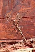 Juniper Tree At Red Rock