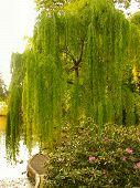 stock photo of weeping willow tree  - a beautiful weeping willow trees hangs down toward the banks of this duck pond - JPG