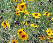Texas Yellow Wildflowers