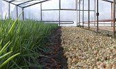 Greenhouse, Onion