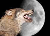 image of wolf moon  - The wolf howls under the moon - JPG