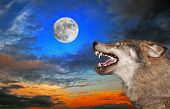 picture of wolf moon  - The wolf howls under the moon - JPG