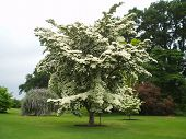 Cornus kousa chinensis in flower at RHS Wisley
