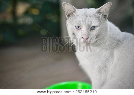poster of Siamese Cat Is The Thai Domestic Cat, Ugly Cat, Dirty Cat And Smart Pet In House, White Cat.