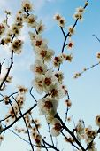 White plum blossoming in Tokyo