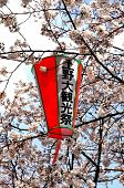 Lantern and cherry blossom in Tokyo
