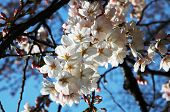 Cherry blossom on a sunny day in  Ueno Park, Tokyo
