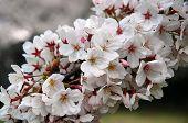 White Sakura in Tokyo