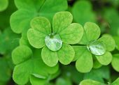 Dew on clover leaves