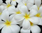 picture of plumeria flower  - White frangipani background - JPG