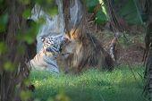 Liger And Lion