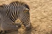 A zebra asleep in the afternoon sun