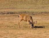 picture of blacktail  - California Blacktail buck eating - JPG