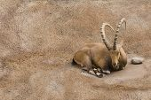 Scimitar horned Ibex resting on a small ledge on steep rock face