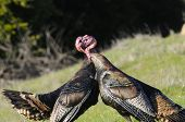 Turkey toms fighting, with each others heads in their mouths