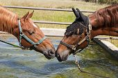 Two horse drinking from the same tank or trough smelling to identify each other