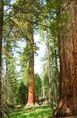 a doe in front of a very tall Sequoia Gigantica in Mariposa grove, in Yosemite National Park, Calif