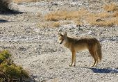 Coyote in Death Valley at sunset