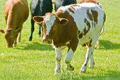 Cattle In Field