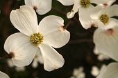 Profusion of dogwood blooms