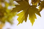 Golden maple leaf background
