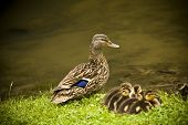 Female Mallard with new babies