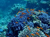 Underwater landscape with Scalefin Anthias and coral. Red Sea