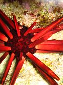 Underwater urchin close-up. Red Sea