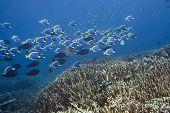 Underwater landscape with school of Blue Surgeonfishes (Acanthurus leucosternon).  Maldives. Indian