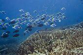 Underwater landscape with school of Blue Surgeonfishes (Acanthurus leucosternon).  Maldives. Indian ocean. Addu atoll.