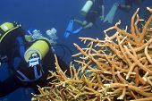 Acropora coral and group of divers underwater poster