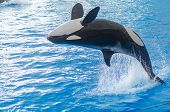 A Jumping Orca In A Blue Sea poster