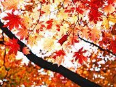 red fall maple leafs illuminated background